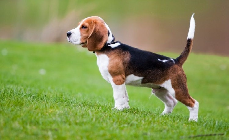 Cho Beagles
