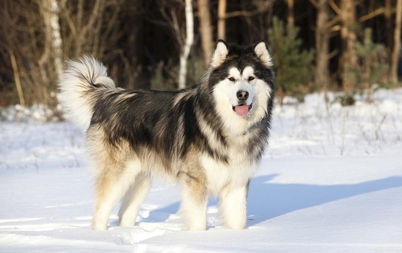 Cho Alaska