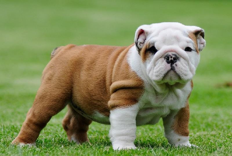Cho Bulldog Anh