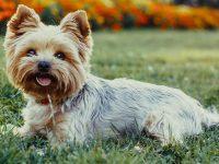 Top 10 giống chó cảnh được nuôi nhiều nhất trên thế giới 25