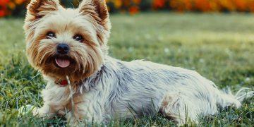 Top 10 giống chó cảnh được nuôi nhiều nhất trên thế giới 13