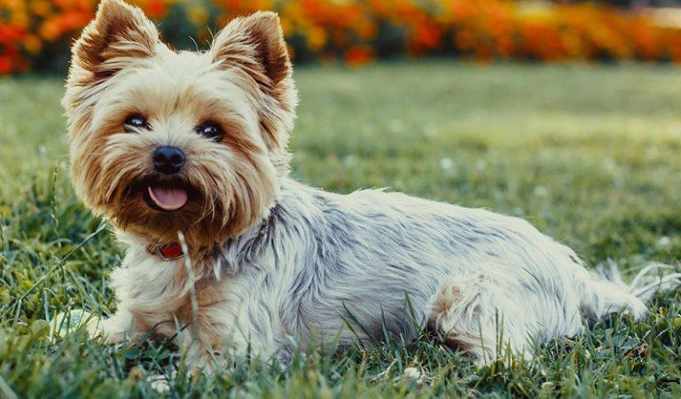 Top 10 giống chó cảnh được nuôi nhiều nhất trên thế giới
