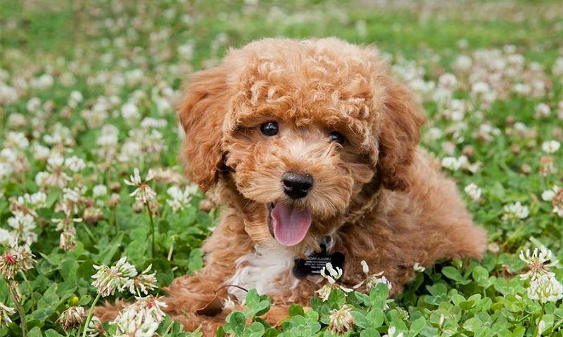 Cho Poodle