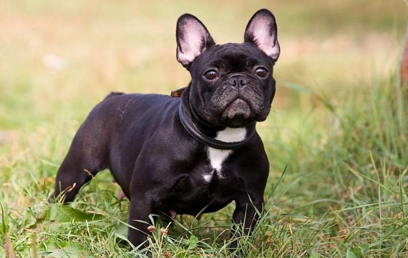 Top 10 giống chó cảnh được nuôi nhiều nhất trên thế giới 4