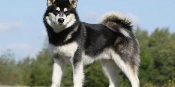 Top 10 giống chó được nuôi nhiều nhất ở Việt Nam 30