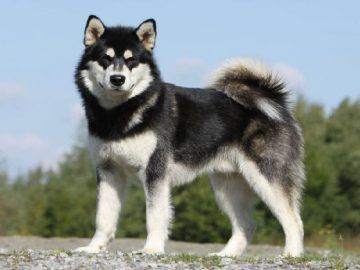 Top 10 giống chó được nuôi nhiều nhất ở Việt Nam 5