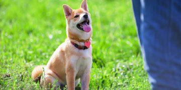 Cách dạy chó: Hiểu tên, đeo vòng cổ, rọ mõm của mình 15