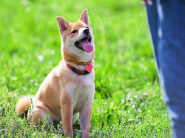 Cách dạy chó: Hiểu tên, đeo vòng cổ, rọ mõm của mình 2