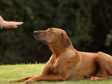 Cách dạy chó nằm xuống theo lệnh của mình 7