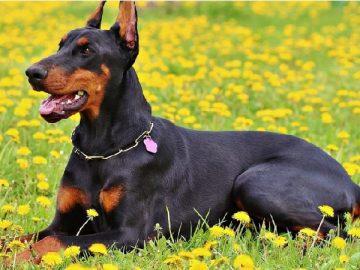 Top 10 giống chó được nuôi nhiều nhất ở Đức 12