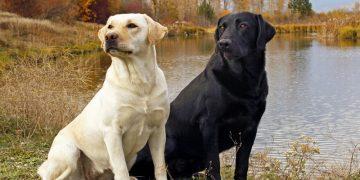 Top 10 giống chó được nuôi nhiều nhất ở Mỹ 16