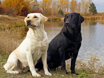 Top 10 giống chó được nuôi nhiều nhất ở Mỹ 4