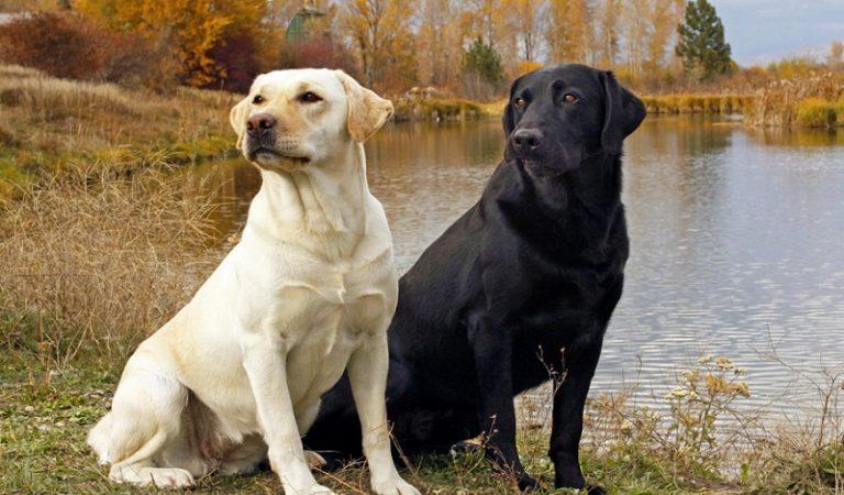 Top 10 giống chó được nuôi nhiều nhất ở Mỹ