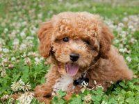 Top 10 giống chó được nuôi nhiều nhất ở Trung Quốc 32