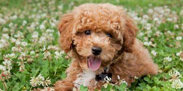 Top 10 giống chó được nuôi nhiều nhất ở Trung Quốc 29