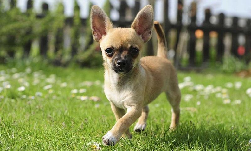 Cho Chihuahua