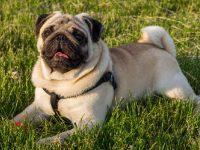 Top 10 giống chó giá rẻ như cho ai cũng mua được tại Việt Nam 27