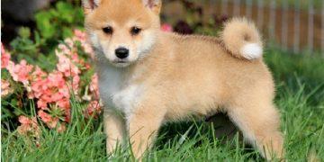 Top 10 giống chó được nuôi nhiều nhất ở Nhật Bản 28