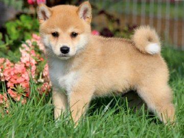 Top 10 giống chó được nuôi nhiều nhất ở Nhật Bản 11
