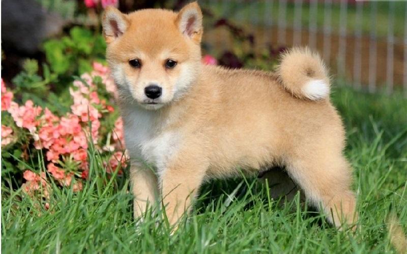 Top 10 giống chó được nuôi nhiều nhất ở Nhật Bản 2