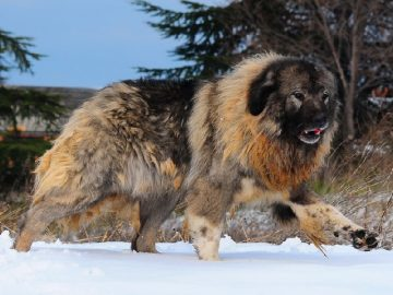 Top 10 giống chó hung dữ và nguy hiểm nhất thế giới 3