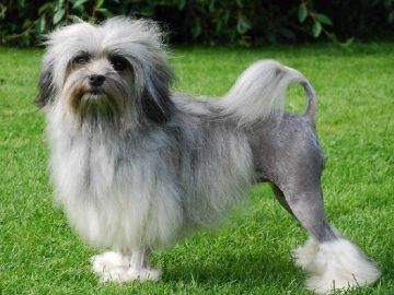 Top 10 giống chó quý hiếm nhất thế giới 6