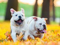 Tìm hiểu về đặc điểm, chu kỳ, cách giao phối của loài chó 38