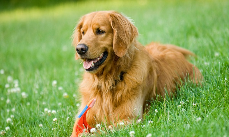 Cho Golden Retriever