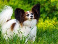 Top 10 giống chó biết vâng lời, dễ bảo, dễ nuôi nhất 36