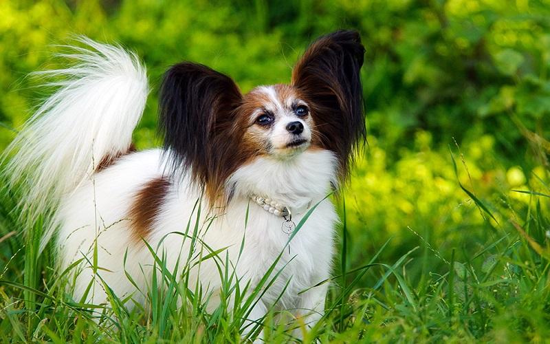 Top 10 giống chó hung dữ và nguy hiểm nhất thế giới 2