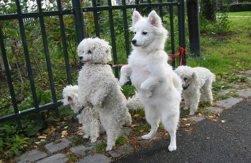 Cách dạy chó nằm xuống theo lệnh của mình 3