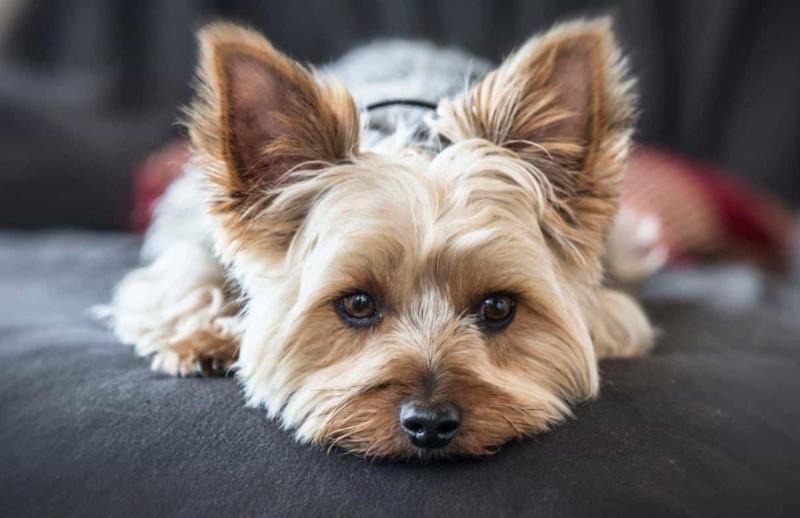 Chó Yorkshire Terrier - Đặc điểm, giá bán và cách nuôi 1