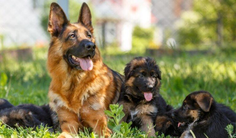 Chó Becgie – Giá bán, kỹ thuật nuôi và cách huấn luyện