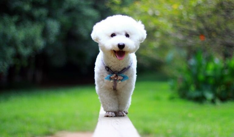 Chó Bichon Frise – Đặc điểm, tích cách, giá bán và cách nuôi