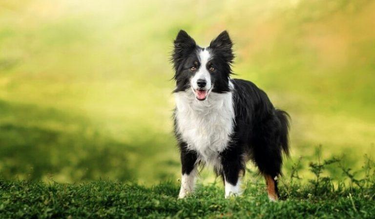 Chó Border Collie chăn cừu – Đặc điểm, giá bán và cách nuôi
