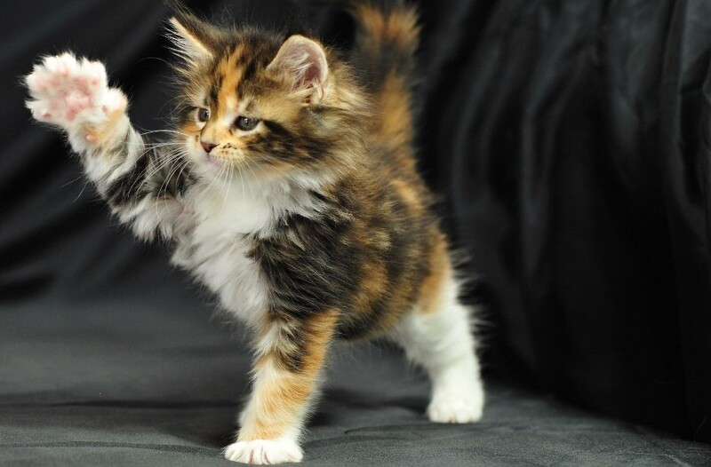 meo maine coon