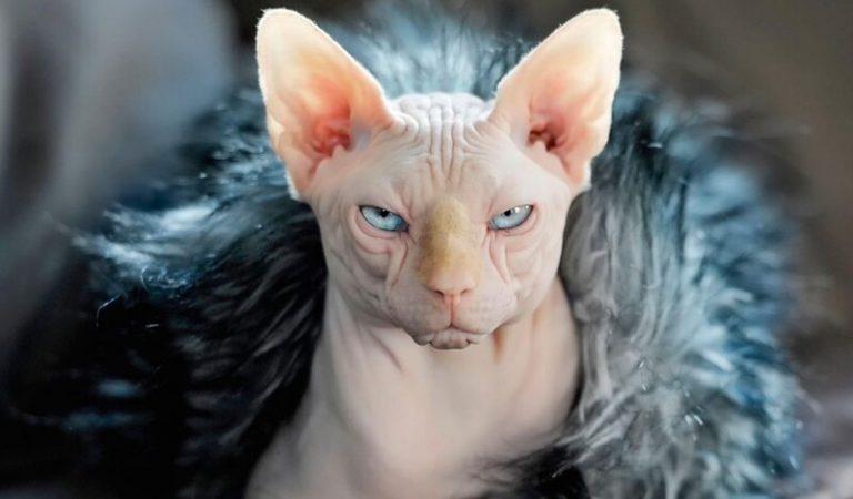 Mèo Sphynx không lông – Đặc điểm, giá bán và cách nuôi