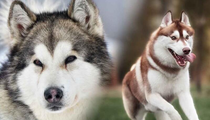 cho husky vs alaska