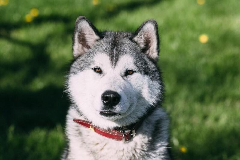 cho husky