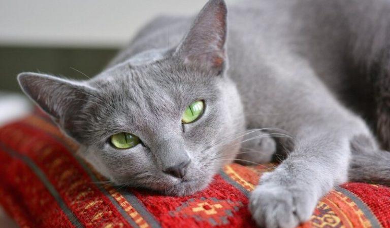 Mèo Nga mắt xanh – Đặc điểm, giá bán và cách nuôi